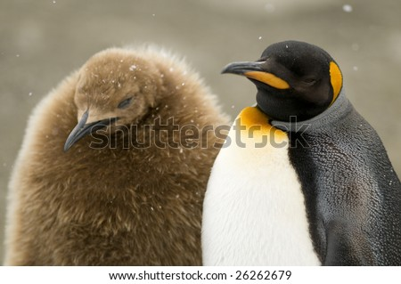 King penguin and chick in the snow - stock photo