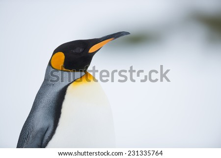 King Penguin, Antarctica - stock photo