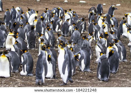 King Penguin - Aptenodytes patagonicus - Colony of king penguins in Bluff Cove, Falkland Islands / Colony of King Penguins - stock photo