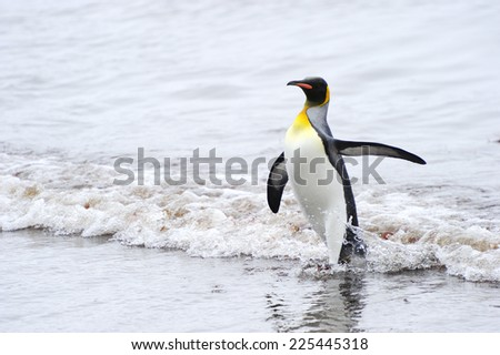 King Penguin (Aptenodytes patagonicus) coming out the water at Macquarie Island, sub Antarctic waters of Australia.