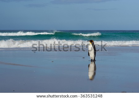 King Penguin (Aptenodytes patagonicus) on a sandy beach at Volunteer Point in the Falkland Islands.  - stock photo