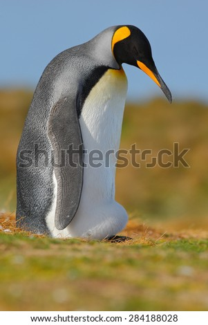 King penguin, Aptenodytes patagonicus sitting in grass with blue sky, Falkland Islands - stock photo