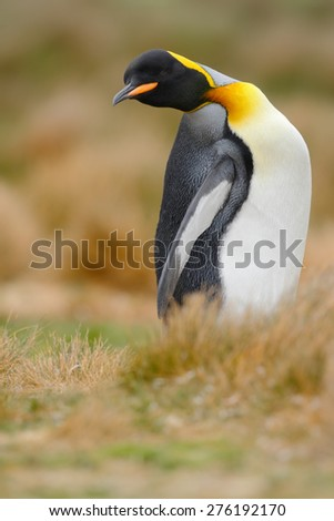 King penguin, Aptenodytes patagonicus sitting in grass with tilted head, Falkland Islands - stock photo