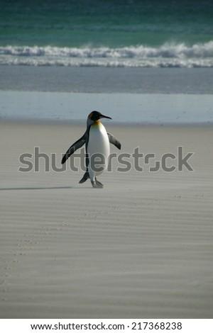 King Penguin (Aptenodytes Patagonicus), Volunteer Point, Falkland Islands - stock photo