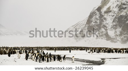 King penguin colony in the snow - South Georgia - stock photo