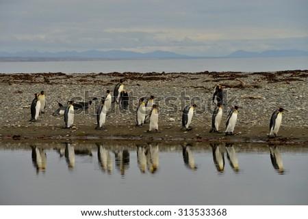King Penguin colony, Tiera del Fuego, Chile - stock photo