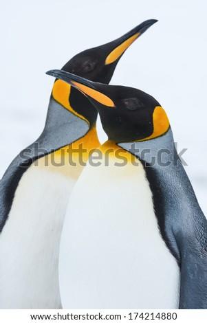 King Penguin Couple in love against white snow at Grytviken, South Georgia Island, Antarctica - stock photo