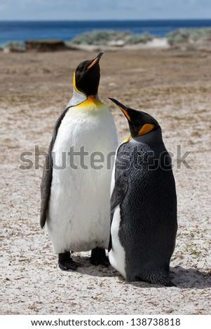 King penguin, Falkland Islands - stock photo