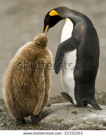 King penguin feeding chick - stock photo