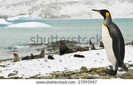 King penguin looking over icy bay - stock photo