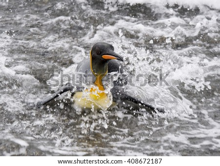 King Penguinin the water