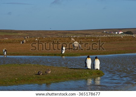 King Penguins (Aptenodytes patagonicus) by a pond on a sheep farm at Volunteer Point in the Falkland Islands.