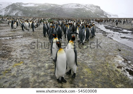 King Penguins, Aptenodytes patagonicus, in Antarctica