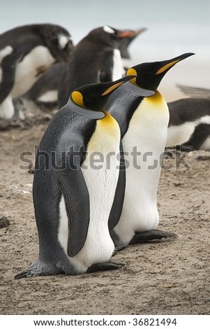 King penguins (Aptenodytes patagonicus) sitting near a gentoo penguin rookery at Saunders Island, Falkland Islands - stock photo