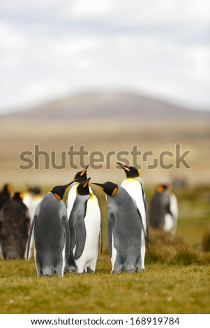 King Penguins at Falkland islands - stock photo