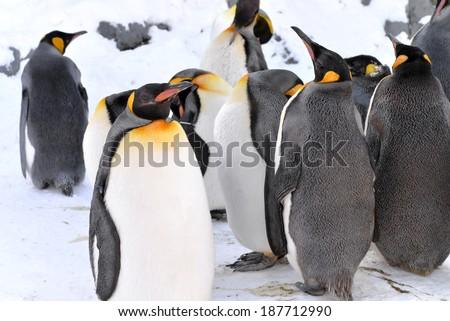 King Penguins Colony, Hokkaido, Japan - stock photo