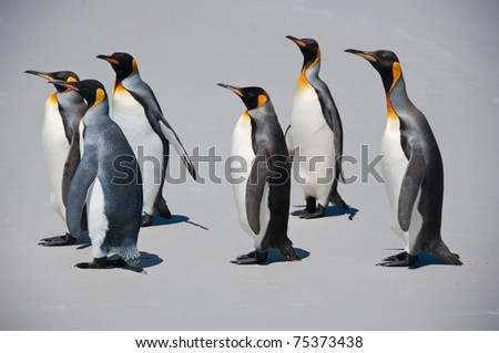 King penguins march along the beach at Volunteer Point in the Falkland Islands - stock photo