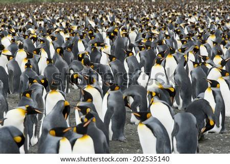 King penguins on dark sand, Antarctica, South Georgia - stock photo