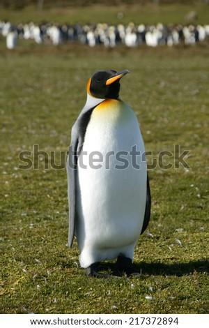 King Penguins, Volunteer Point, Falkland Islands - stock photo