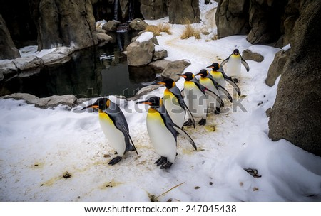 King Penguins walking at an outdoor exhibit at the zoo. - stock photo