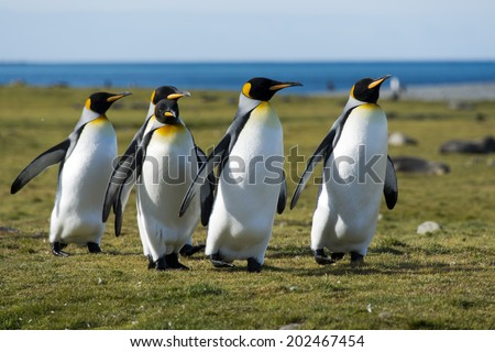 King penguins walking in sunlight, South Georgia - stock photo