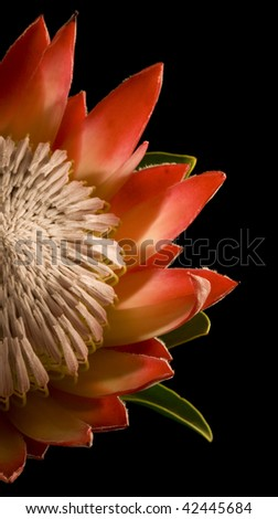 King Protea Half Isolated on Black Background Left - stock photo