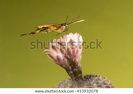 King Swallowtail (Heraclides thoas) butterfly perched on a cactus (Gymnocalycium sp.) flower. Patagonia, Argentina, South America. - stock photo