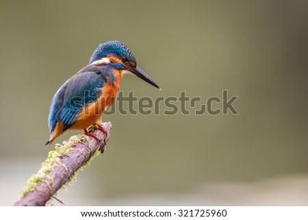 Kingfisher - stock photo
