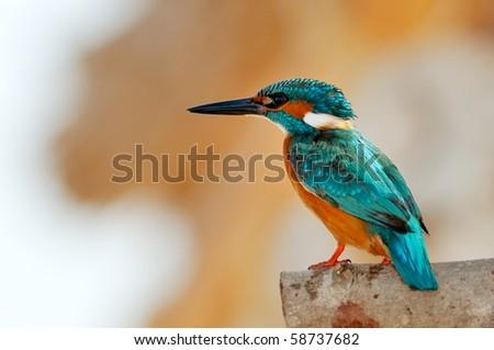 kingfisher (alcedo atthis) - stock photo