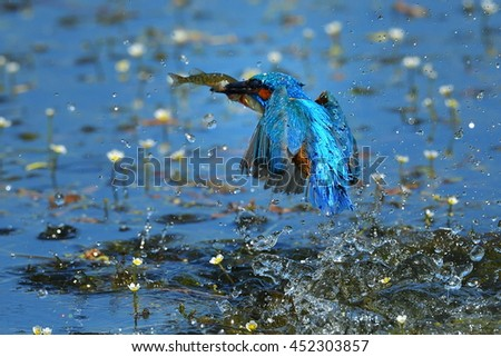 kingfisher (alcedo atthis) fishing