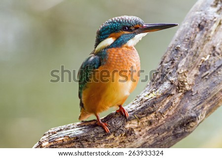 Kingfisher (Alcedo atthis) watching for prey, sitting on a branch - stock photo