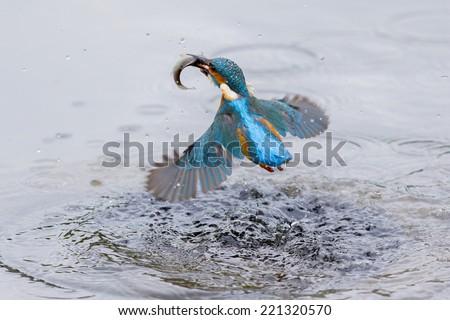 Kingfisher Bird - stock photo
