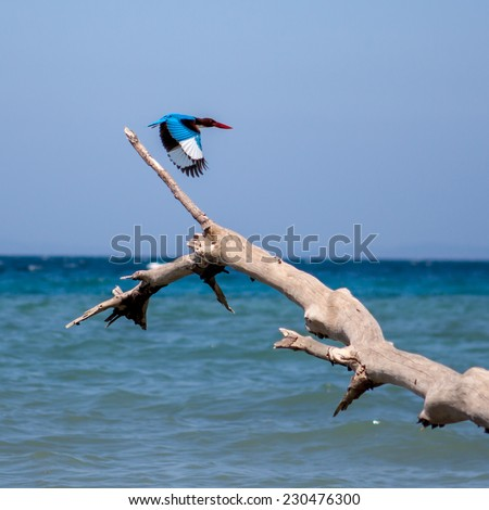 Kingfisher bird taking off from fallen tree on a beach at Havelock island, Andamans, India - stock photo