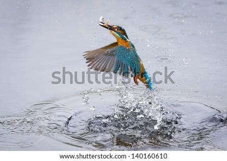 Kingfisher Bird with Fish - stock photo