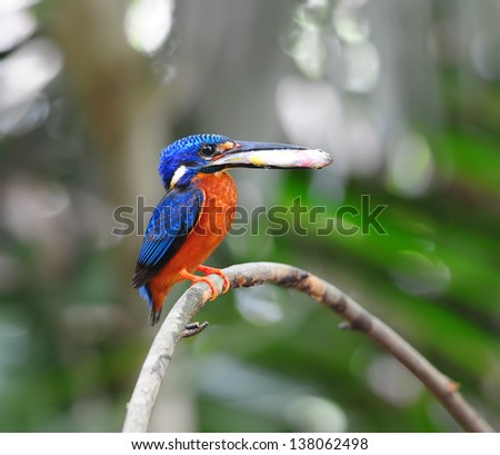 Kingfisher birds eat fish on a branch