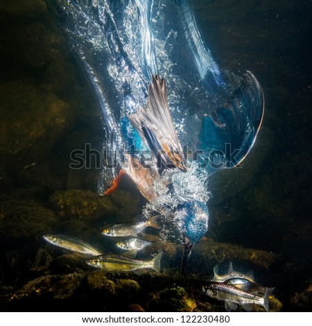 Kingfisher catch the fish - under water photo
