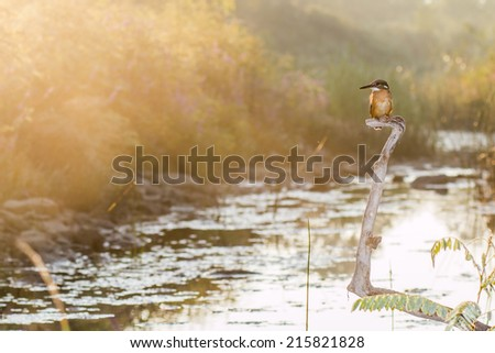 Kingfisher front of river background and nice sunrise - stock photo