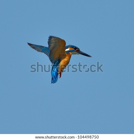 kingfisher in flight (alcedo atthis) - stock photo