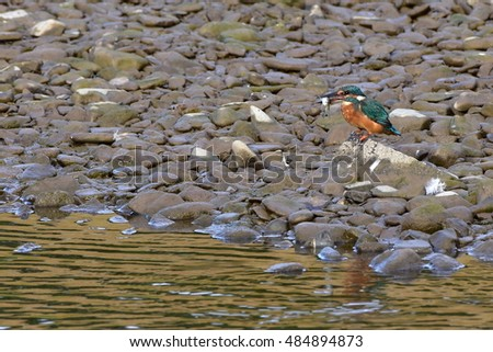 kingfisher in its environment