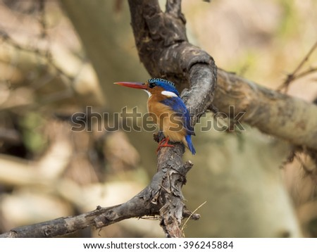 kingfisher in the branch of a tree  - stock photo