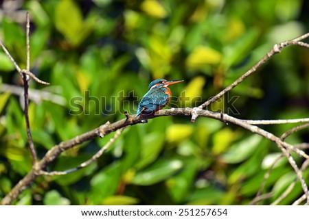 Kingfisher in the wild on the island of Sri Lanka - stock photo
