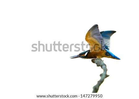 Kingfisher on white background II - stock photo