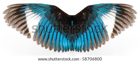 Kingfisher's wings isolated on white background - stock photo