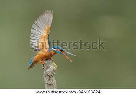 Kingfisher with open wings