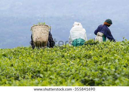 KINIHIRA, RWANDA- NOVEMBER 9: unidentified worker at a tea plantation on November 9, 2013. Tea is export item of Rwanda - stock photo