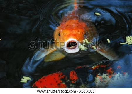 Kio fish in a pond