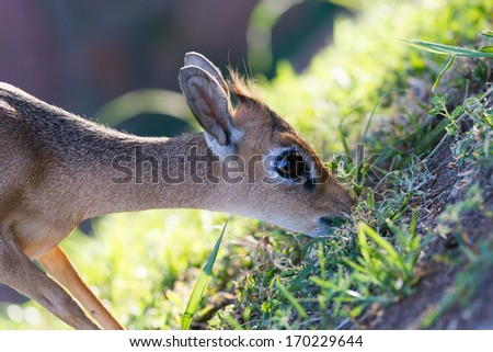Kirk Dik-dik (Madoqua kirkii) is a smallest antelope in the world - stock photo