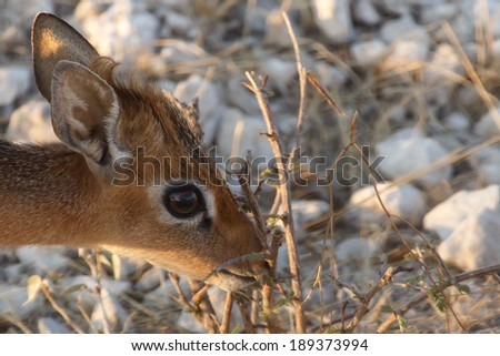 Kirk's Dik Dik Antelope (Smallest in the world) at Etosha National Park in Nambia, Africa - stock photo