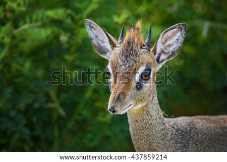 Kirk's Dik-dik - Madoqua kirkii, Kenya, Tsavo West - stock photo