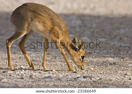 Kirks(Damara) Dik- Dik; Madoque kirkii; - stock photo